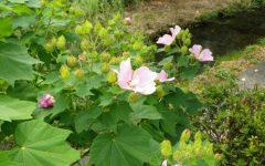風にゆれる芙蓉の花
