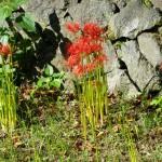 河原に咲く曼珠沙華