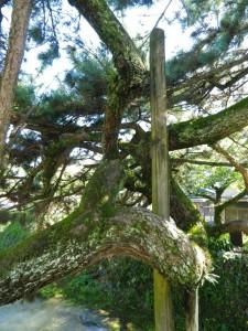 うねる松と支柱