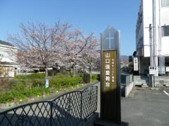 教会前の桜並木