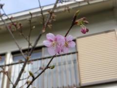 濃いピンクの河津桜