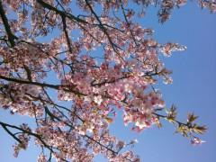 向島の桜2