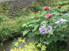 ブルーのお花・アガパンサス