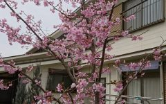 教会の河津桜満開