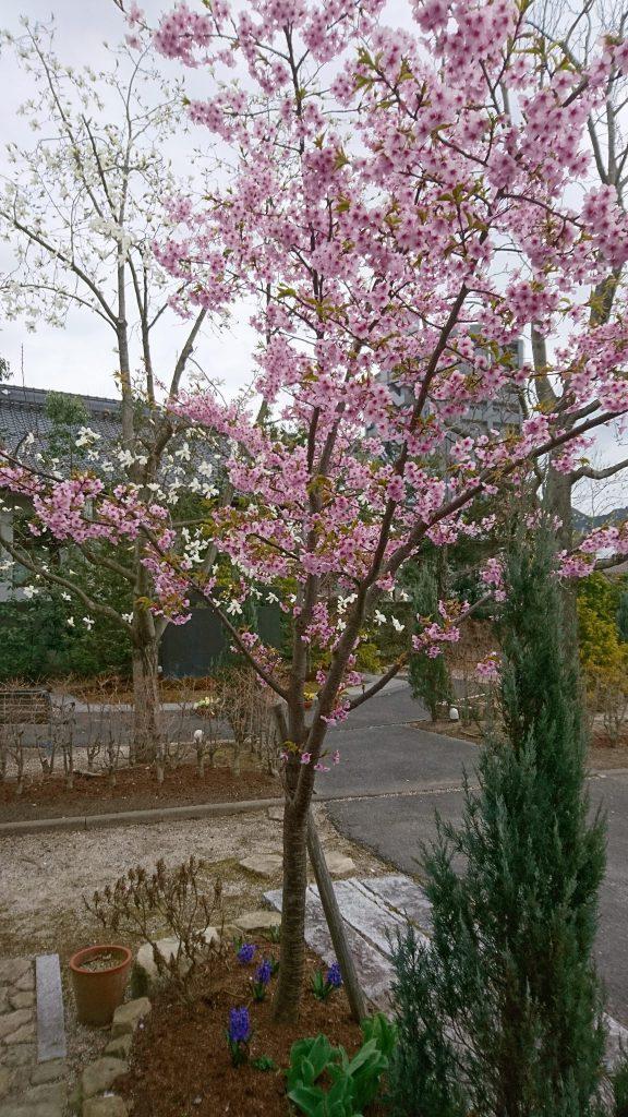 3月27日 教会河津桜満開