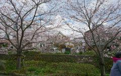 一の坂川の桜満開