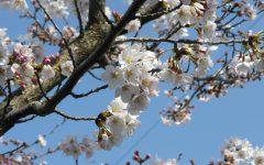 桜♡さくら♡桜
