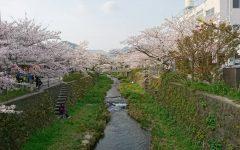 一の坂川の桜、開花!